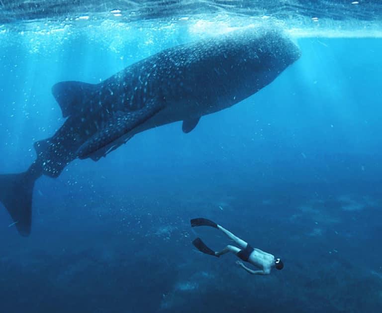 Level 1 Freediving Kurs Tauchen mit Walhaien